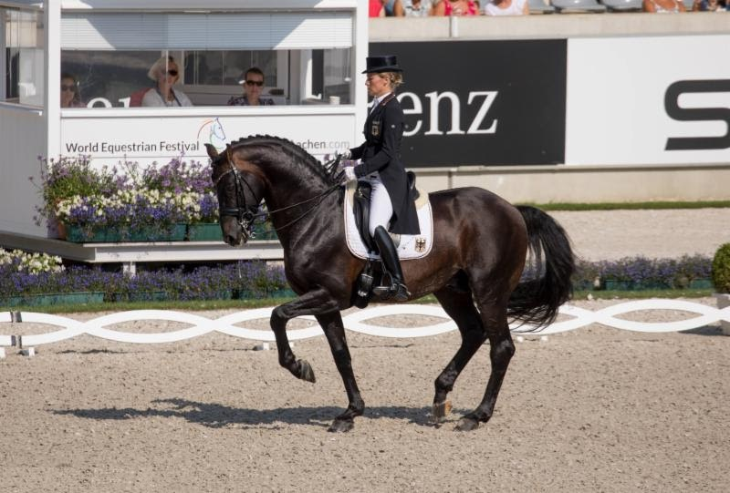 The Ultimate Ideal Hanoverian Dressage Schoolmaster Is Now Ready