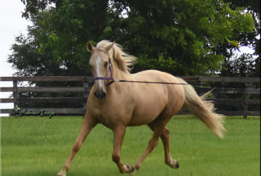 Stunning Lusitano Mare with great mind, talent and willingness!