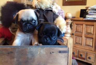Pug puppies for Adoption!