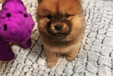 Beautiful KC Chow Puppies For Sale