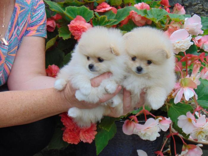 Understanding Male and Female Pomeranian puppies for adoption