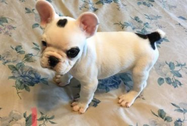 Toy French Bulldog puppies Need Gone Asap.