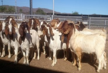 Livestock, Poultry, Frozen Chicken, Ostrich, Pigs & Animal Feed For Sale