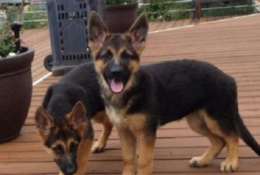 German Shepherd Puppies AKC Reg 11 Weeks Old