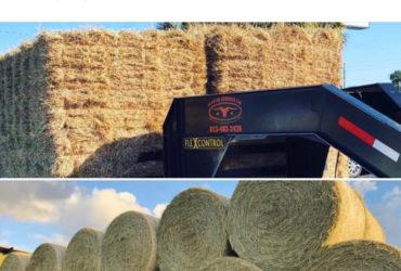 Tifton hay