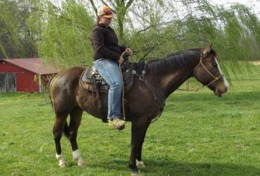 Super Quarter horse Available