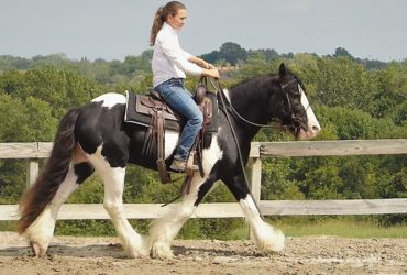 14.1+HH, 6 year old, Black and White, Gypsy Vanner & PtHAA, Gelding for sale