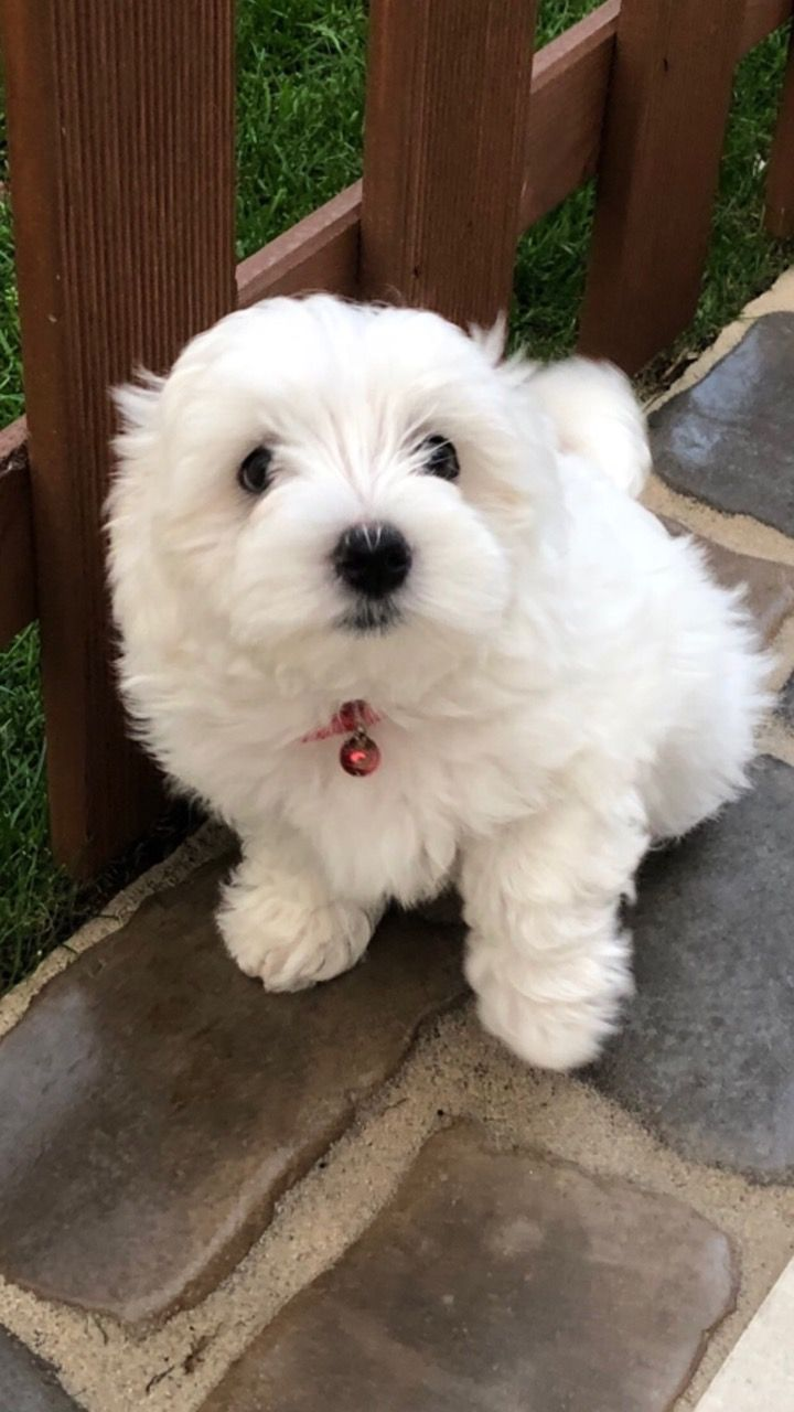 Awesome Maltese Puppies Available
