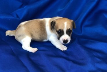 Jack Russell Terrier Puppies (short legged)
