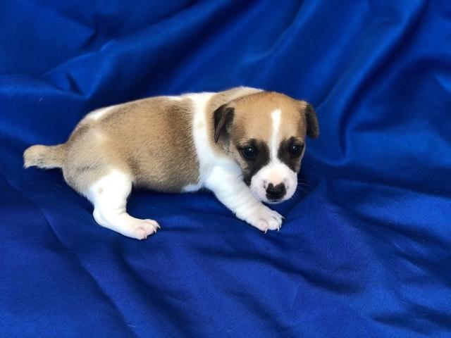 Jack Russell Terrier Puppies (short legged)