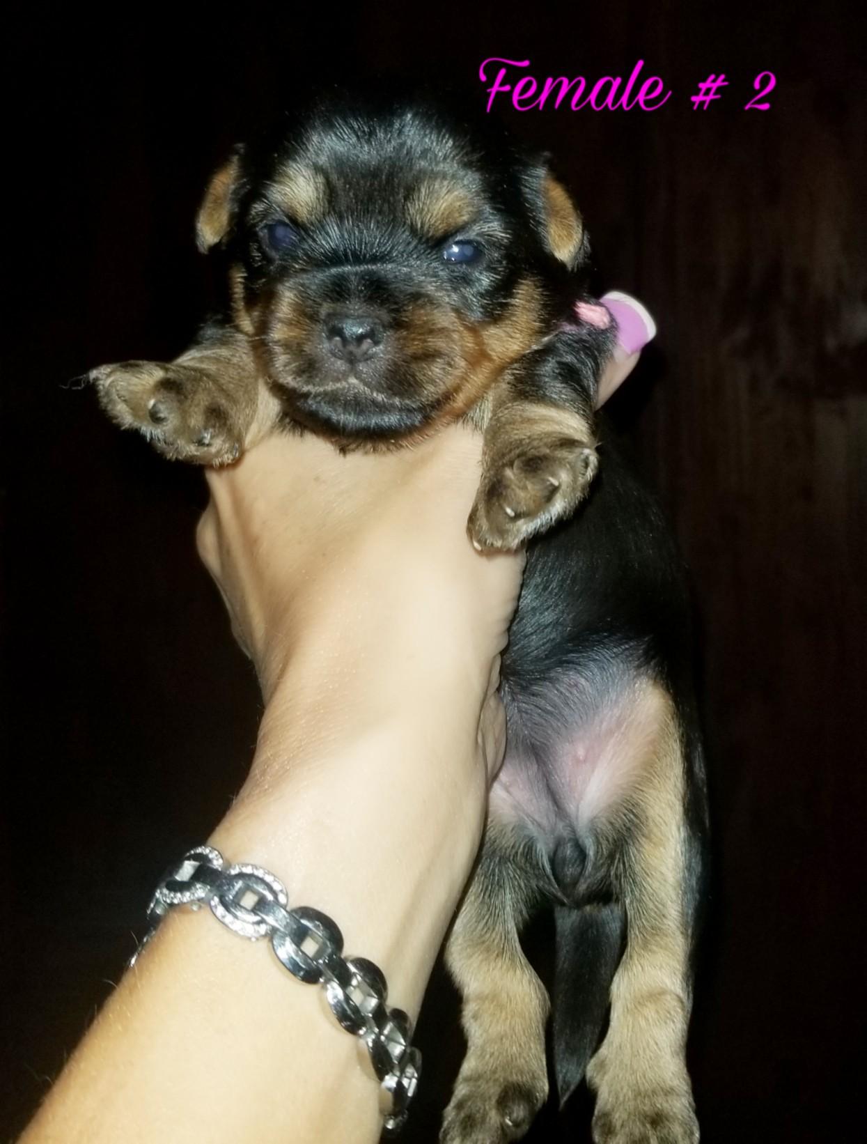 Yorkie  puppies!