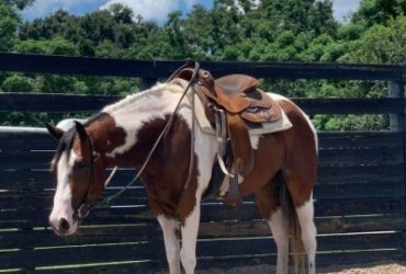 2016 APHA Tobiano Mare by Invite The Artist