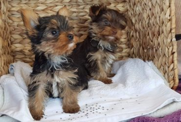 Adorable Yorkshire Terrier Puppies.